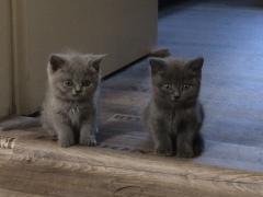 BKH Kitten aus unserer Zucht